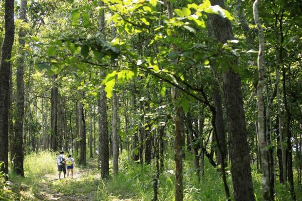 A variety of lucrative trees including teak and makha wood are seen at Mae Wong National Park in Nakhon Sawan. THANARAK KHOONTON