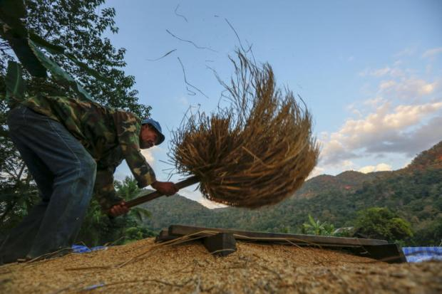 A farmer in Mae Hong Son province is threshing paddy. Milled rice exports are expected to meet a target of 11 million tonnes. PATTARAPONG CHATPATTARASILL