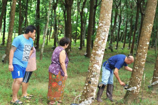 Farmers in Trang province tap a rubber tree for latex. A UTCC study found the income of rubber farmers has collapsed. Methee Muangkaew