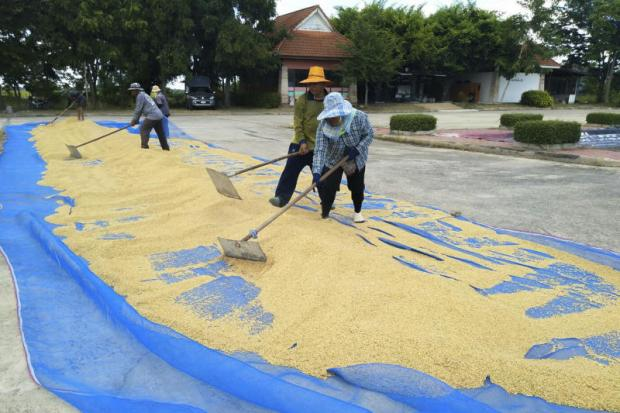 Farmers spread out paddy to dry in Nakhon Ratchasima's Phimai district.(Photo by Prasit Tangprasert)