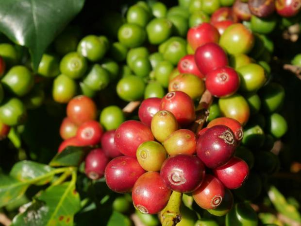 Coffee berries on a tree in Chiang Rai. Freshly brewed coffee is gaining popularity in Thailand. PENKHAE SOITHONG