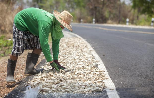 A farmer dries cassava along the road in Ubon Ratchathani's Pho Sai district to earn income from the dried roots. (Photo by Pattarapong Chat pattarasill)