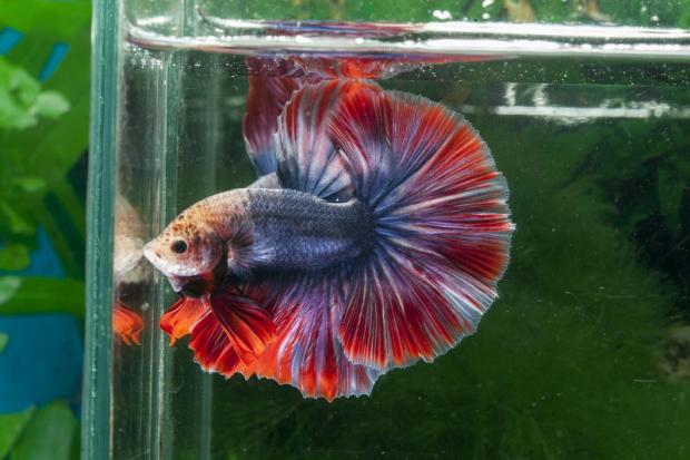 A close-up view of Siamese fighting fish