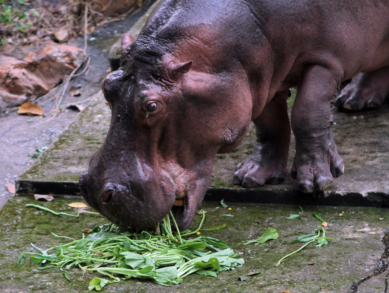 Happy hippos in 'heaven'