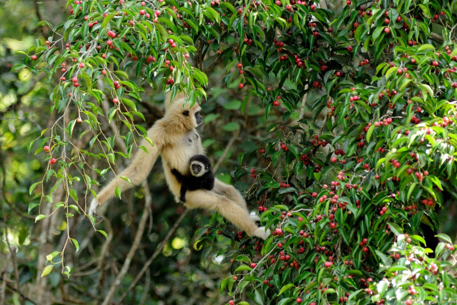 A white-handed gibbon with her young offspring. (Photo: Kulpat Saralamba)