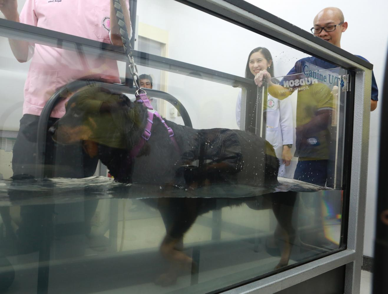 Peacan the Rottweiler goes through a weight-loss routine on a treadmill submerged in thigh-deep water at Chulalongkorn University's Small Animal Teaching Hospital. Thanks to the rigorous routine, Peacan has started shedding extra weight. (Photo by Apichit Jinakul)