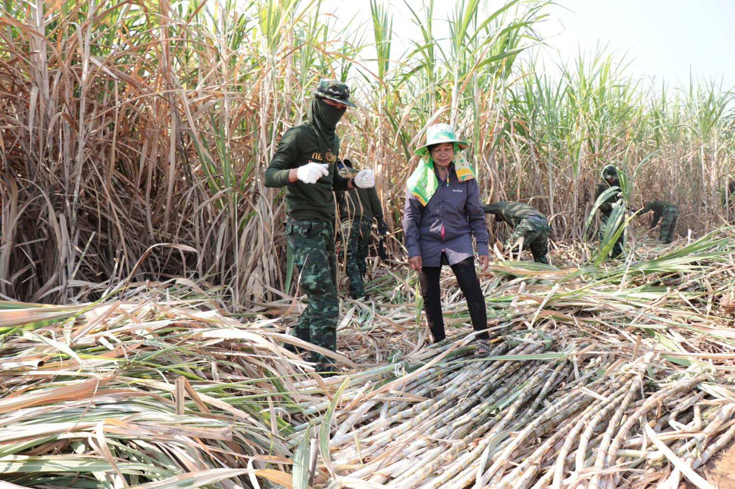 Local soldiers help sugar-cane farmers in Kanchanaburi to harvest fresh output. The government will have its latest plan to remove burnt sugar cane in the next three years.PIYARAT JONGCHAROEN