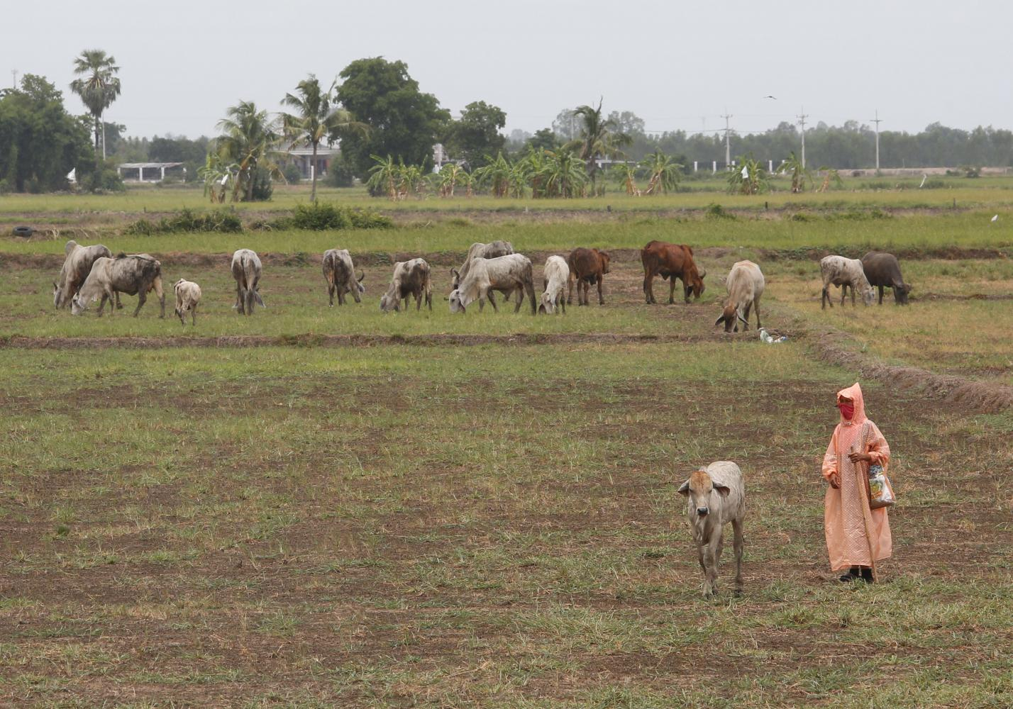Dry bites: Cows graze on what was previously a rice field in Suphan Buri's U Thong district. The prolonged drought, which has forced many farmers to stop growing rice in Suphan Buri, is worsening across several provinces.