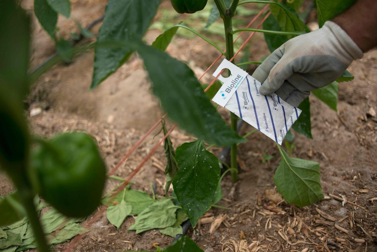 Spanish farmer Antonio Zamora checks an envelope full of mites hanging close to pepper plants in his greenhouse in Dalias. (Photo: AFP)