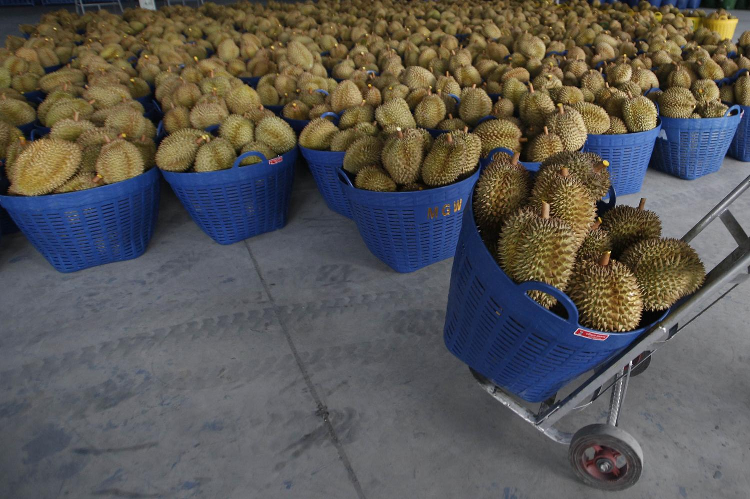 Durians are placed in large baskets awaiting to be freeze-dried at the Manguwang Food Co factory in Songkhla's Thepha district before they are exported to China.