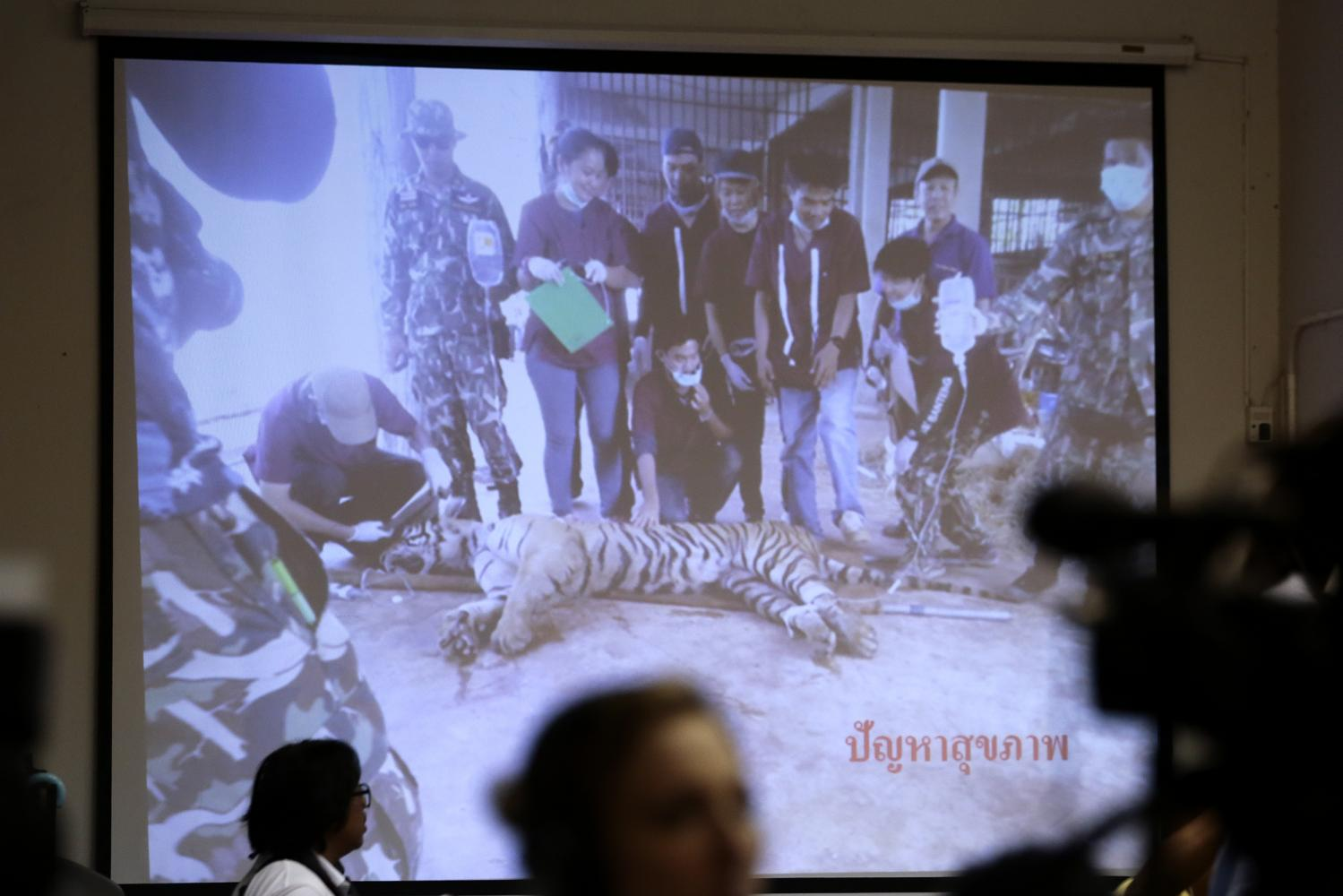 A picture of a sick tiger at Wat Phra Luang Ta Bua Yanasampanno in Kanchanaburi is shown at a press conference on Monday at the Department of National Parks, Wildlife and Plant Conservation. DNP revealed that 86 of 147 tigers confiscated from the temple three years ago died from prior diseases and inbreeding. Patipat Janthong