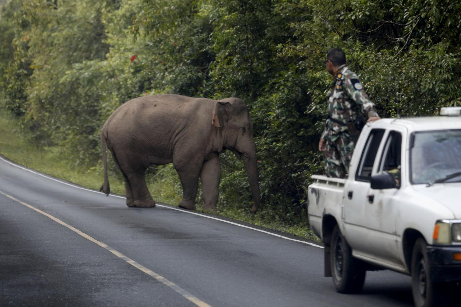 A park ranger tries to encourage a stray elephant to return to the forest in Khao Yai National Park in Prachin Buri.photos by Wichan Charoenkiatpakul