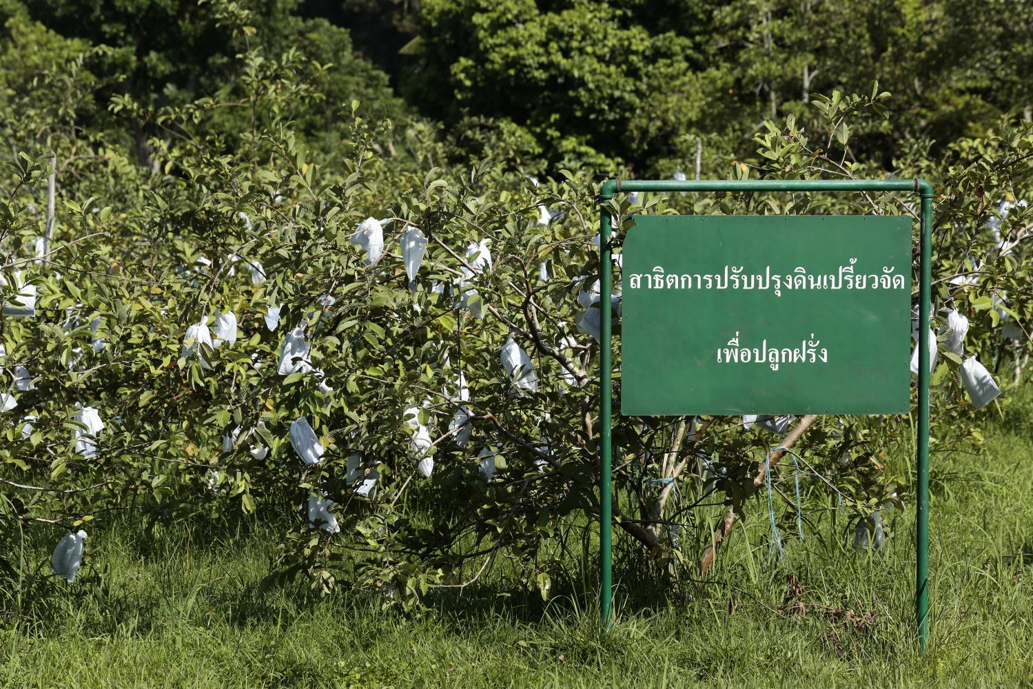 Pikulthong Royal Development Study Centre initiated by His Majesty King Bhumibol Adulyadej The Great in Narathiwat was set up to serve as a centre for studying farming and livestock. (Photo by Patipat Janthong)