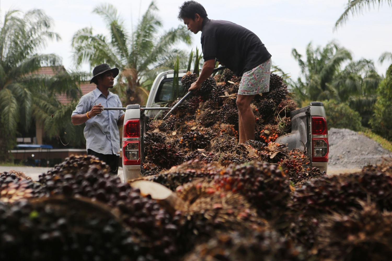 Workers unload palm nuts at a processing plant in Krabi province. Income guarantee schemes have begun, with the money paid to rice and oil palm farmers. (Post Today photo)