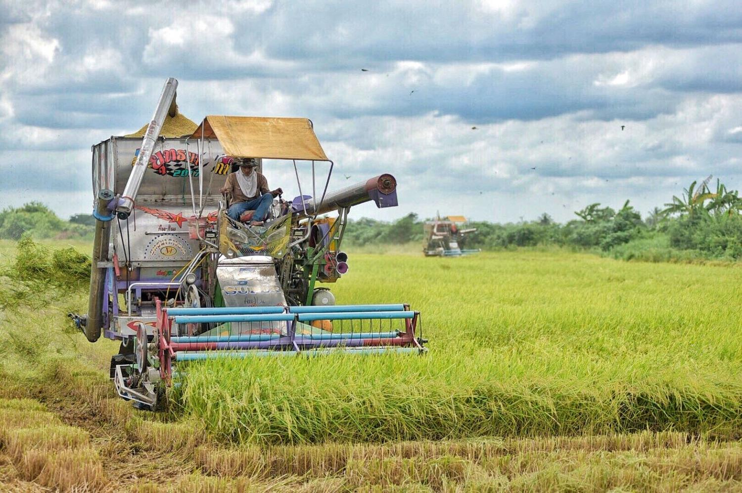 A farmer harvests rice in a paddy field in Pathum Thani province.Pongpat Wongyala