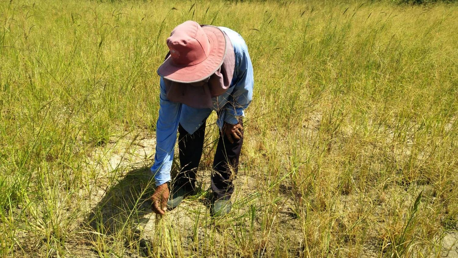 A farmer picks up damaged crops in a drought-affected rice field in Nakhon Ratchasima province. This year's 150% claims ratio in crop insurance is the highest in the past four years, says the Thai General Insurance Association.  PRASIT TANGPRASERT