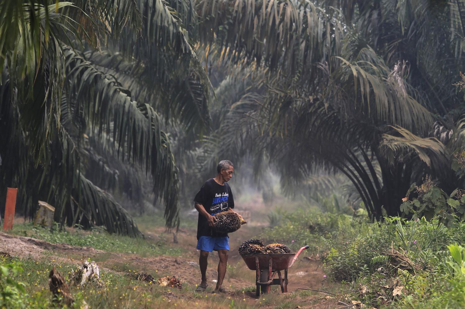 A man carries palm fruits at a plantation blanketed by haze from wildfires in Riau province of Indonesia in September. Photo: AP