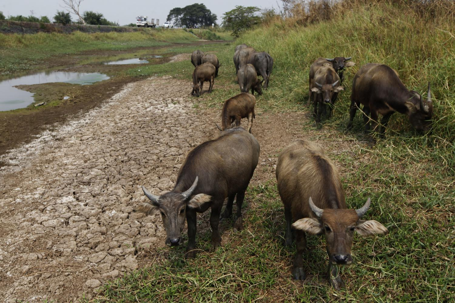 Buffaloes are seen grazing in parched Klong Don Klang in Ayutthaya province. This year is expected to suffer one of the worst seasonal droughts for years.Wichan Charoenkiatpakul