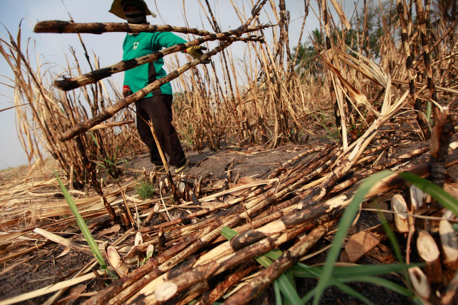 A worker holds sugarcane stalks at a burnt field in Suphan Buri. BANGKOK POST