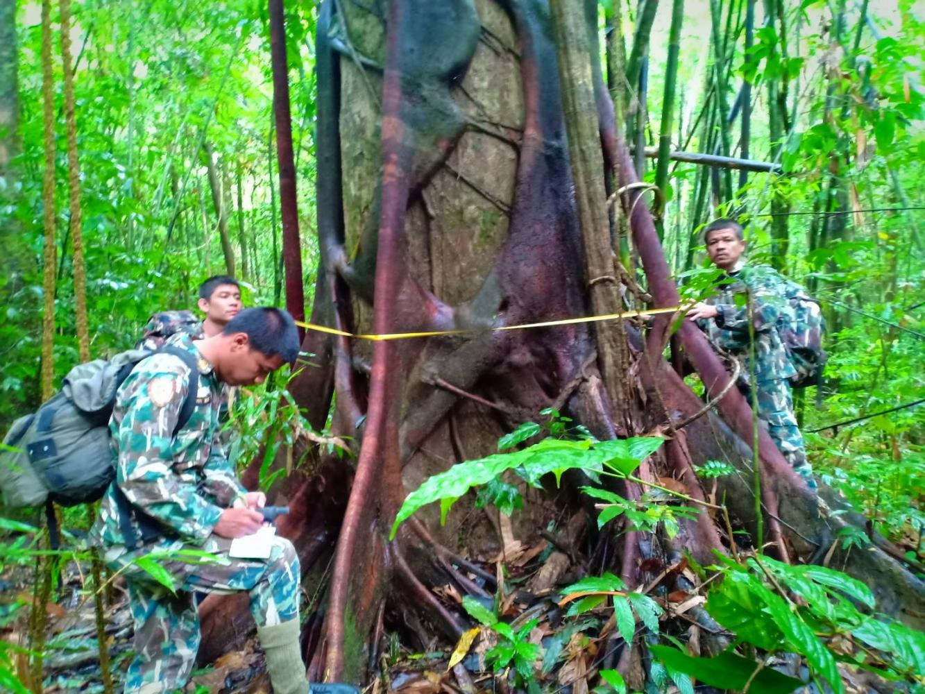 Rangers record the details of a giant tree in Khao Sok National Park in Surat Thani, The park is the location of a pilot project introducing 'smart forest patrolling'.(Photo by Department of National Parks, Wildlife And Plant Conservation)