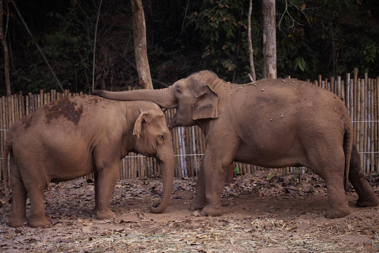 Elephants, a magnet for many visitors to Thailand, are also feeling the effects of the Covid-19 outbreak as tourist numbers plummet. (Photo by Jetjaras Na Ranong)