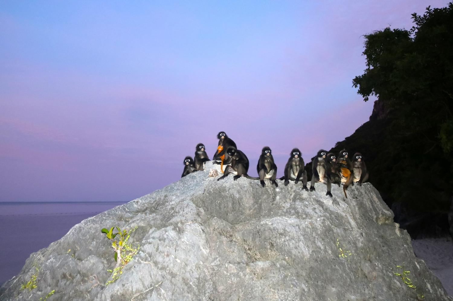A group of dusky leaf monkeys rests at Koh Ang Thong National Park in Surat Thani. The rare primates have been spotted more frequently as the park has been closed since early this year due to the Covid-19 pandemic. photo by the Department of National Parks, Wildlife and Plant Conservation