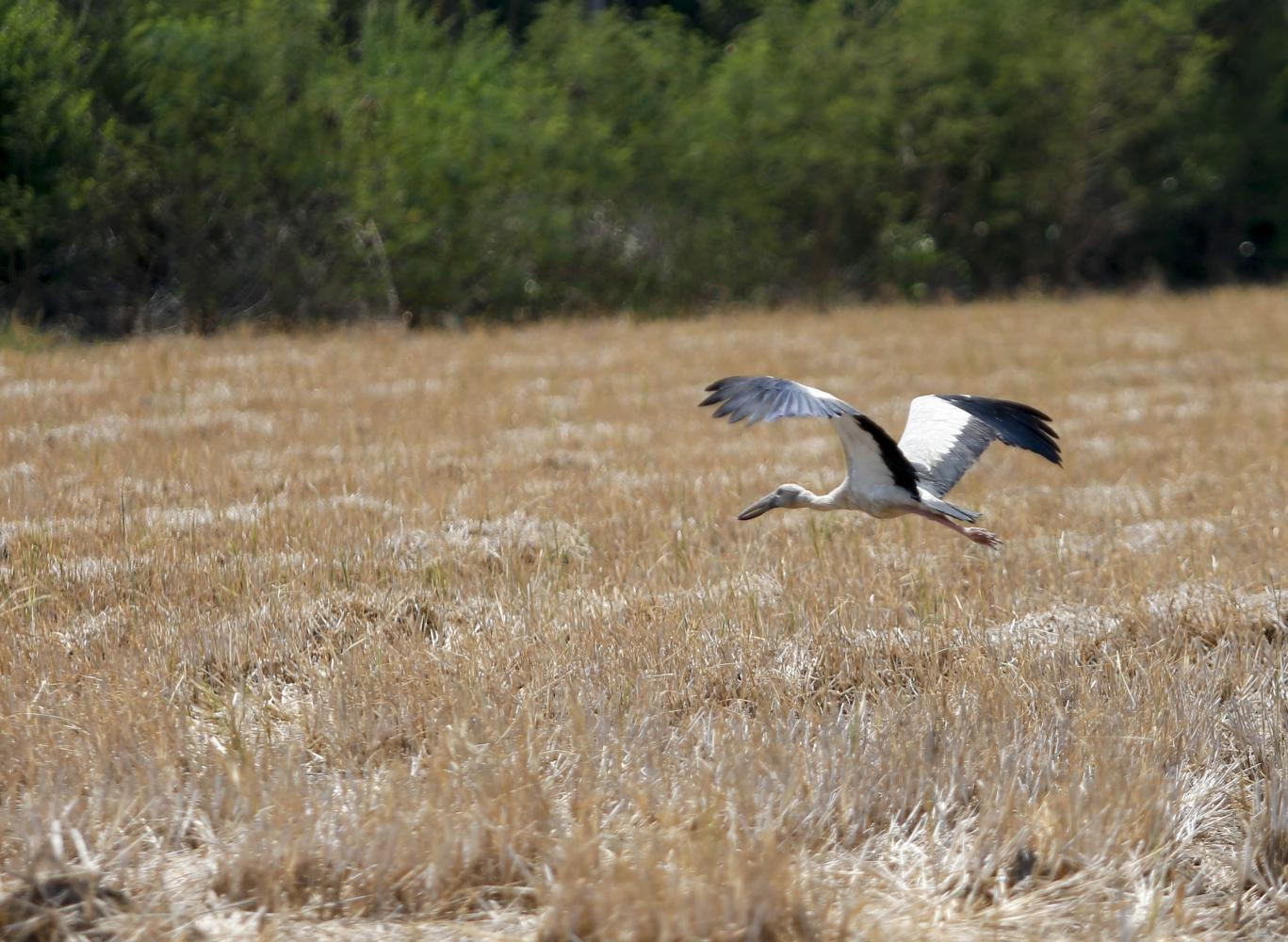An Asian openbill is seen in drought-stricken rice fields in Ang Thong province. Many areas in the central region have experienced drought this year. Pattarapong Chatpattarasill