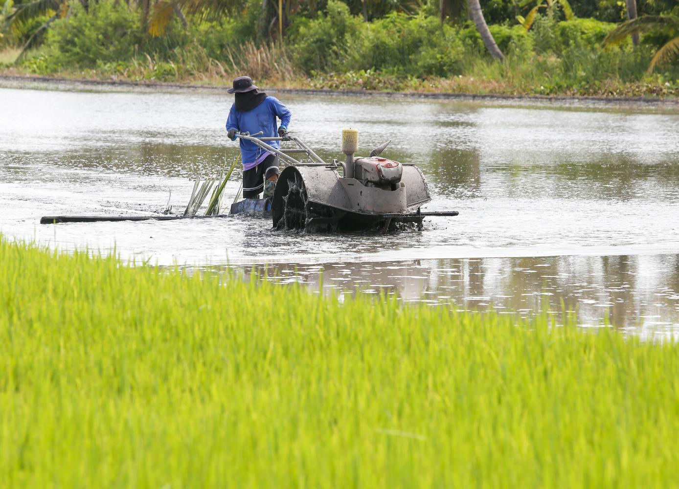 A farmer works in a rice field in Lat Lum Kaeo, Pathum Thani province. The BAAC is preparing a scheme to bring tech to farmers. (Photo by Pattarapong Chatpattarasill)