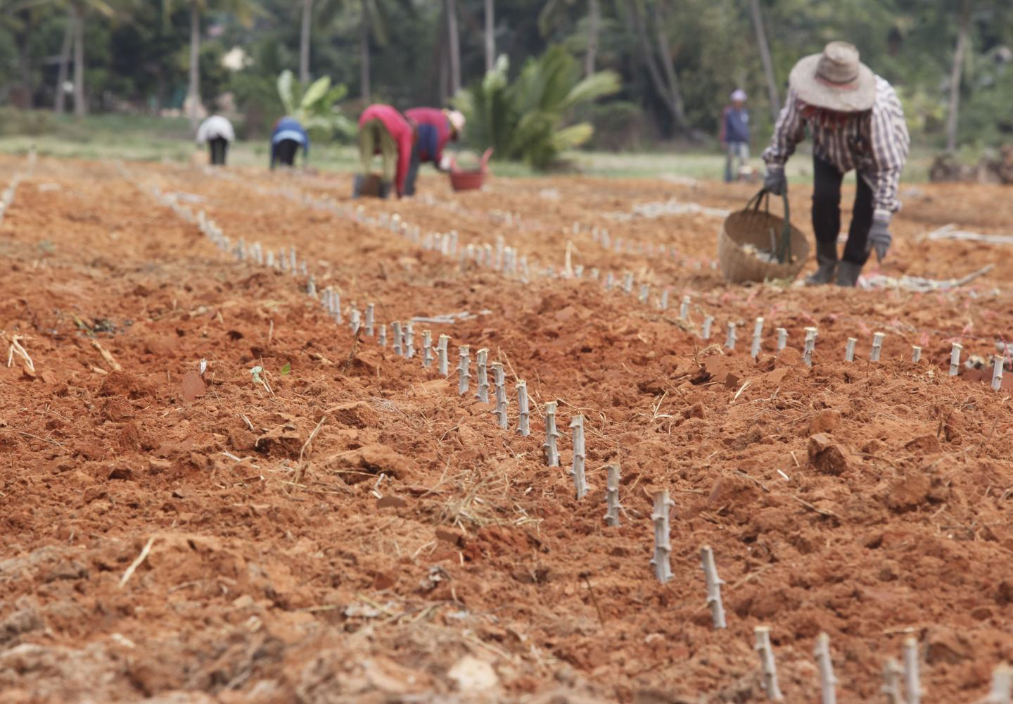 Farmers plant cassava in Nakhon Ratchasima's Phimai district. The cassava mosaic disease has spread across Thailand. PATTARAPONG CHATPATTARASILL