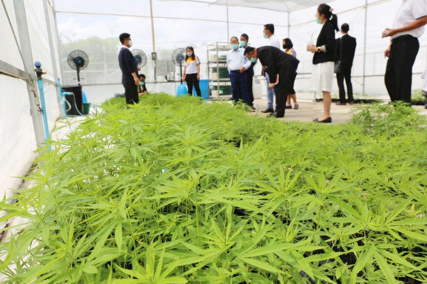 Marijuana plants are grown in a greenhouse at Suranaree University of Technology in Nakhon Ratchasima to supply a hospital in Buri Ram where the plant will be turned into medical cannabis. The university began harvesting these plants on Friday. (Photo by Prasit Tangprasert)