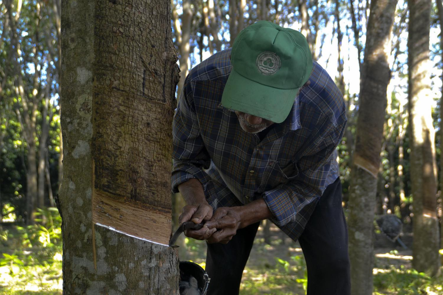 A local farmer taps a rubber tree in Phuket. The commerce minister estimates rubber exports will grow 3.19% this year.(Photo by Achadtaya Chuenniran)
