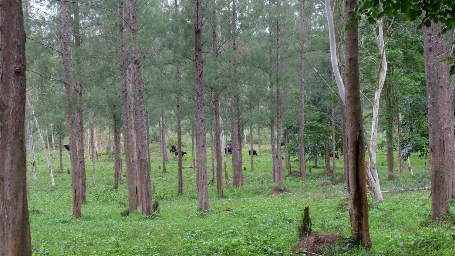 Bulls are seen grazing in the forest in Prachuap Khiri Khan's Kui Buri National Park.