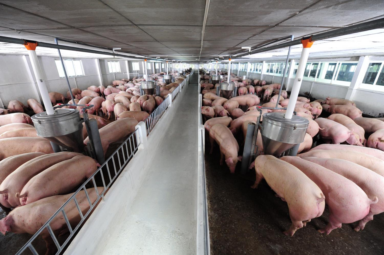 Main photo and left CP Vietnam's Loc Ninh farm in Binh Phuoc province is a 2,400-sow grandparent farm with 10,000 breeders. The company has rigorous measures in place to keep African Swine Fever at bay. Supplied/CP Vietnam