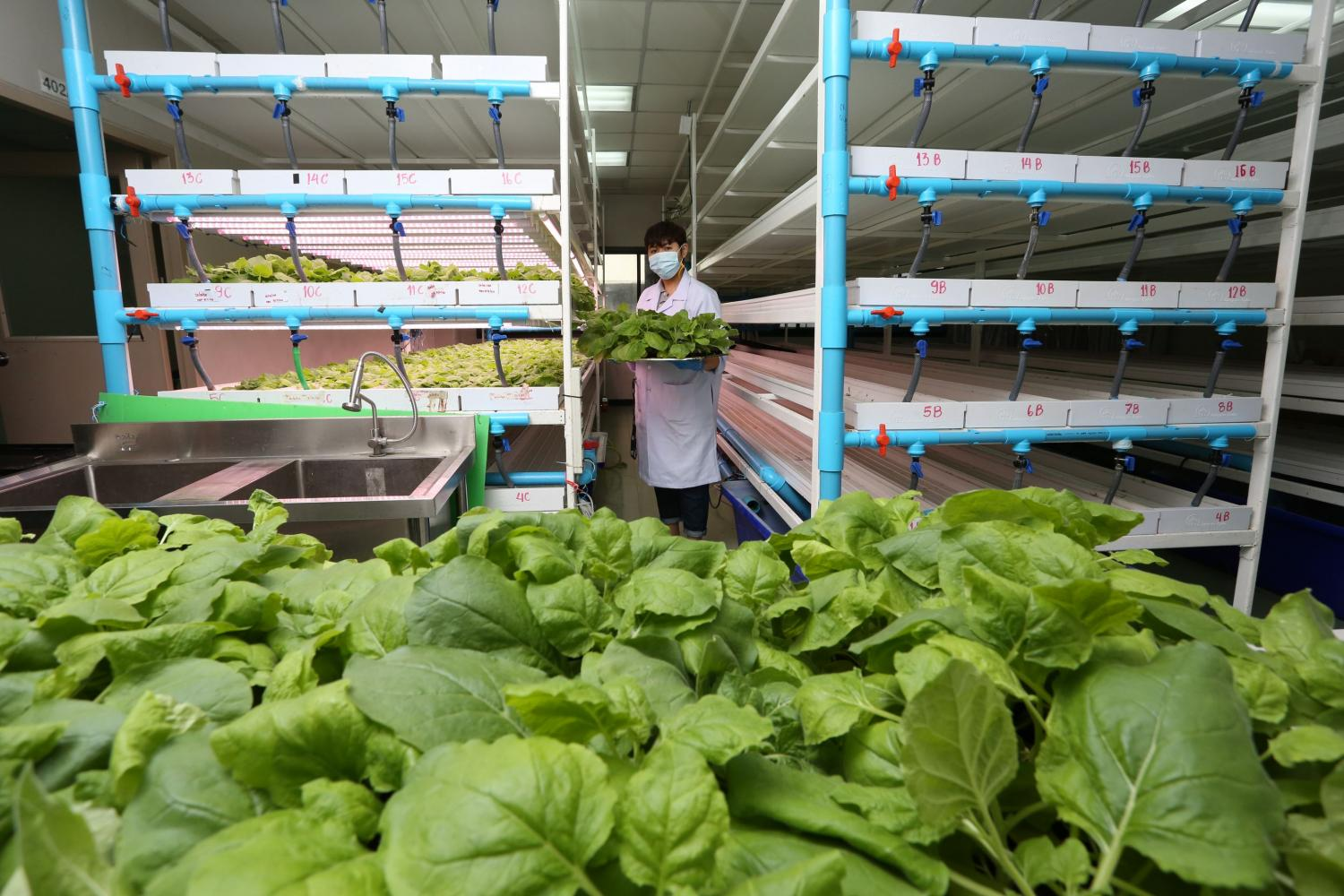 Tobacco plants from an Australian strain are being used by a Thai firm as part of a process to produce a Covid-19 vaccine.