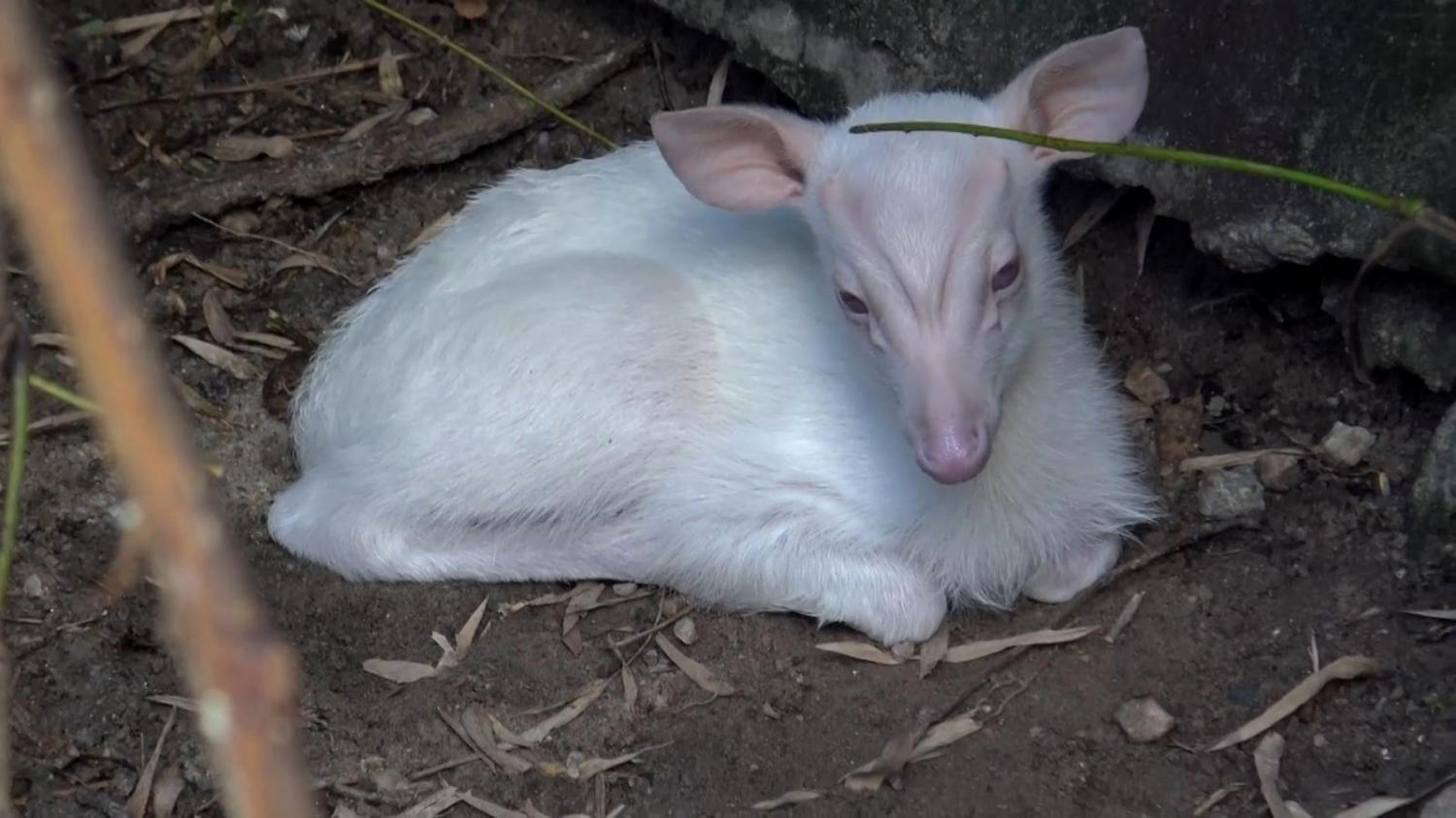 An albino barking deer that went missing from a zoo in Songkhla in February.Photo courtesy of Songkhla Zoo