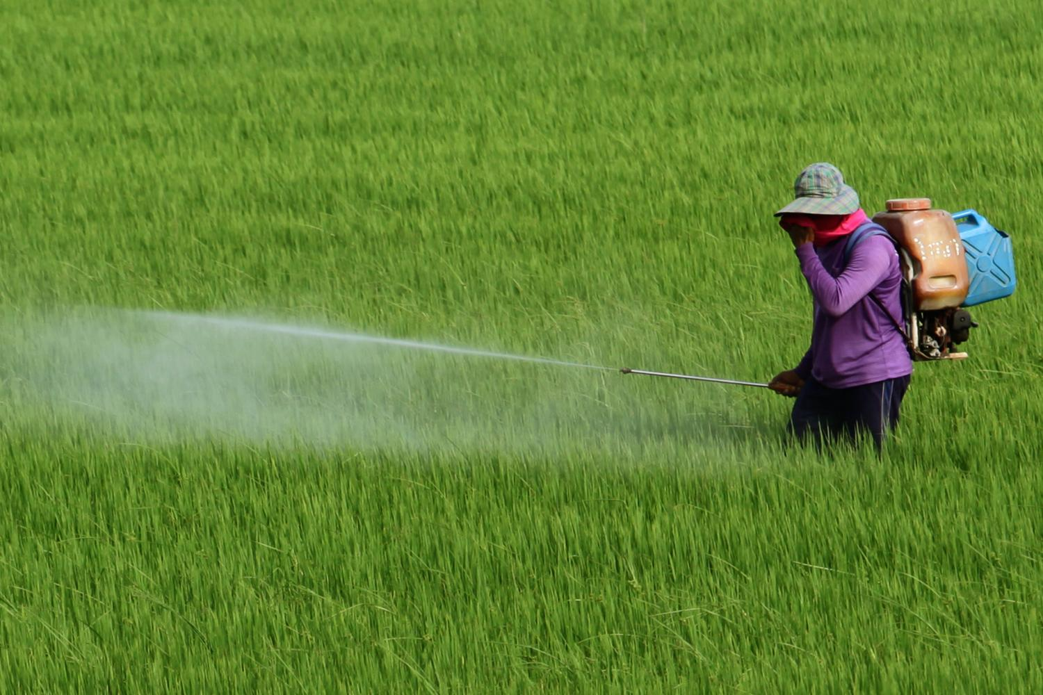 A farmer sprays a rice field with chemicals in Ayutthaya. An industry sector request to  lift the ban on the use of the herbicide paraquat and pesticide chlorpyrifos has been rejected. (Photo: Wichan Charoenkiatpakul)