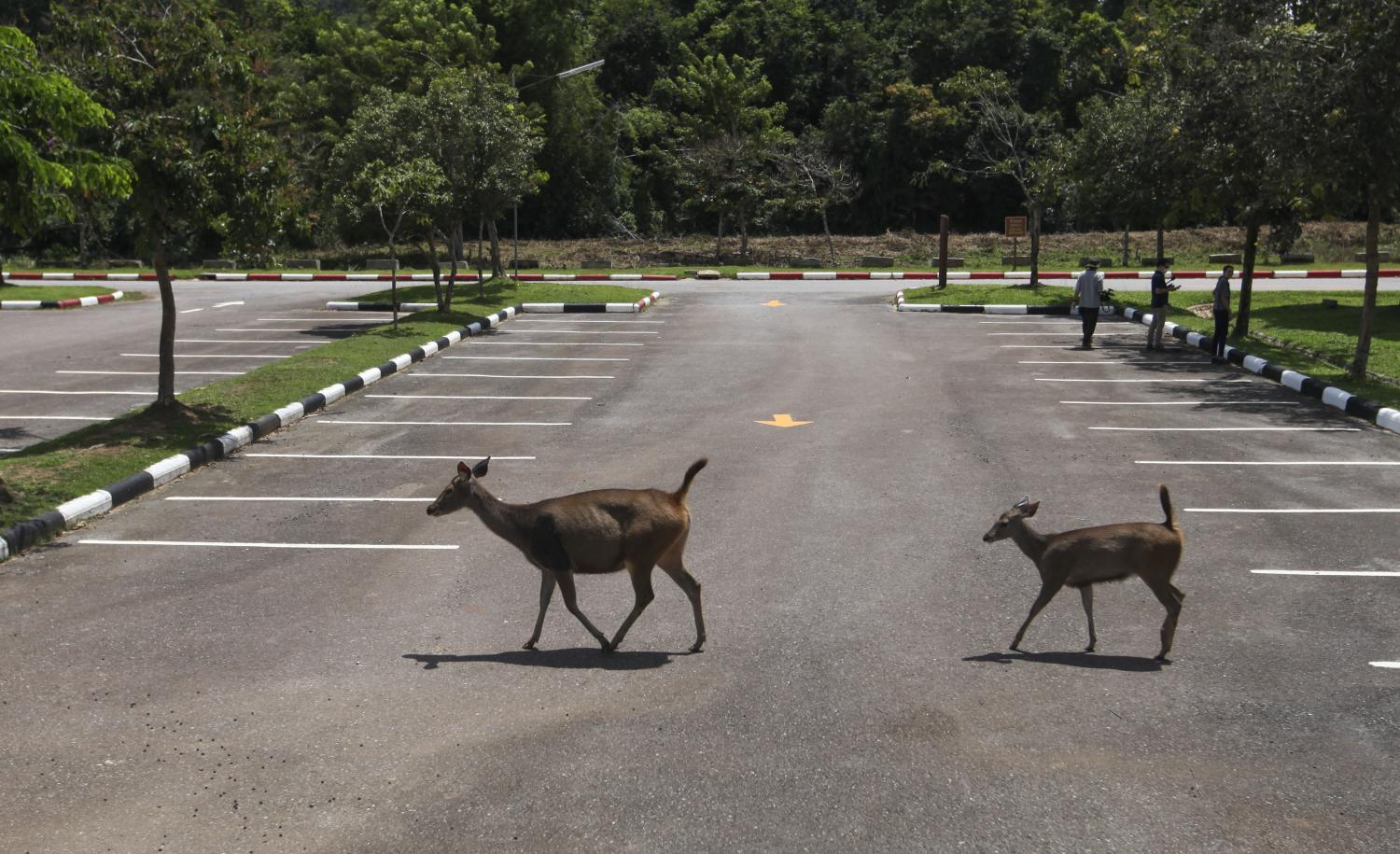 Deer cross a car park at the Khao Yai National Park office on June 25, when the park began testing its QUEQ mobile application designed for securing advance booking to visit the park.Arnun Chonmahatrakool