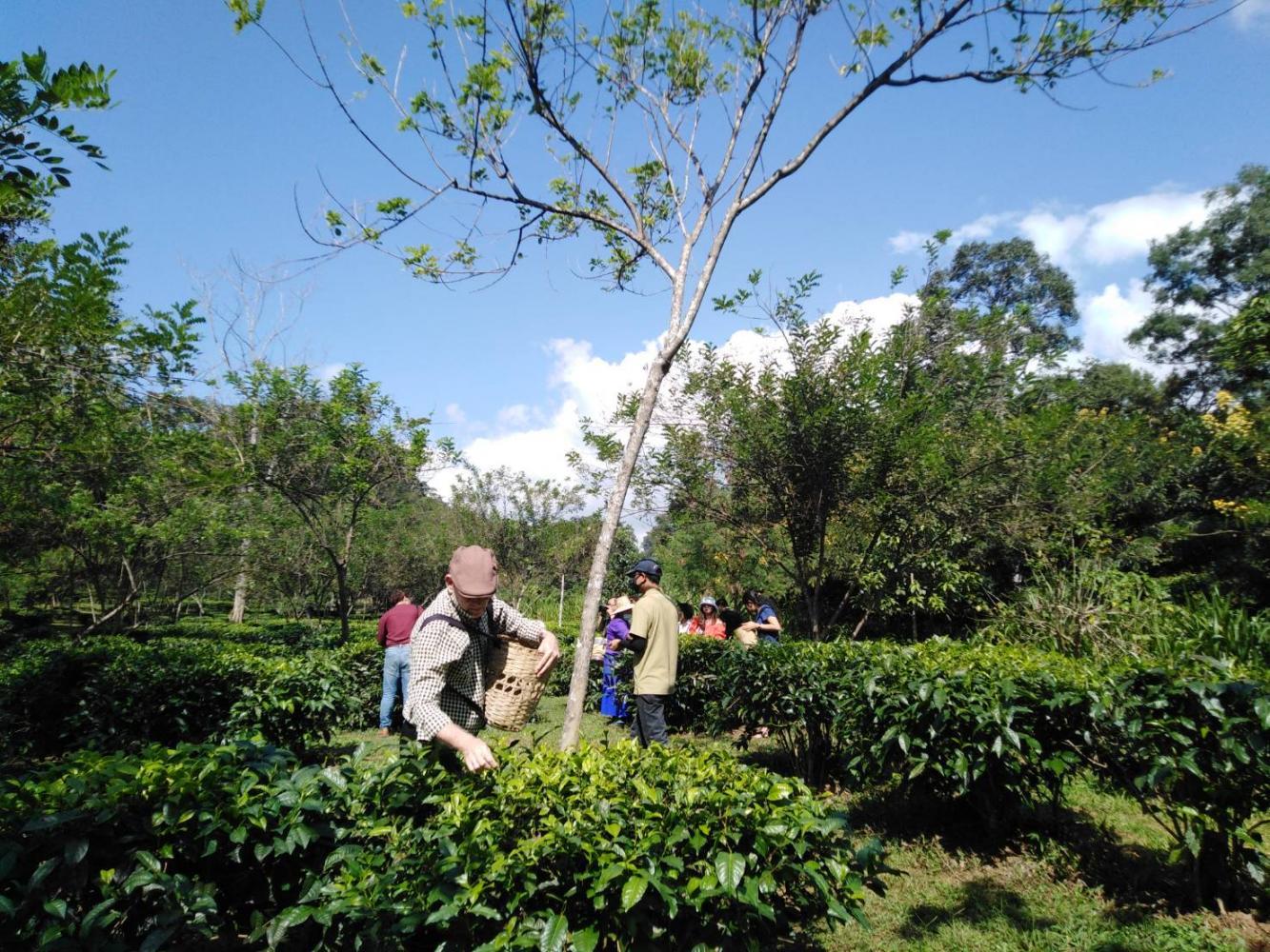 Tourists enjoy a tea picking at Araksa Tea Garden organic tea plantation in Chiang Mai.(Photo by Dusida Worrachaddejchai)