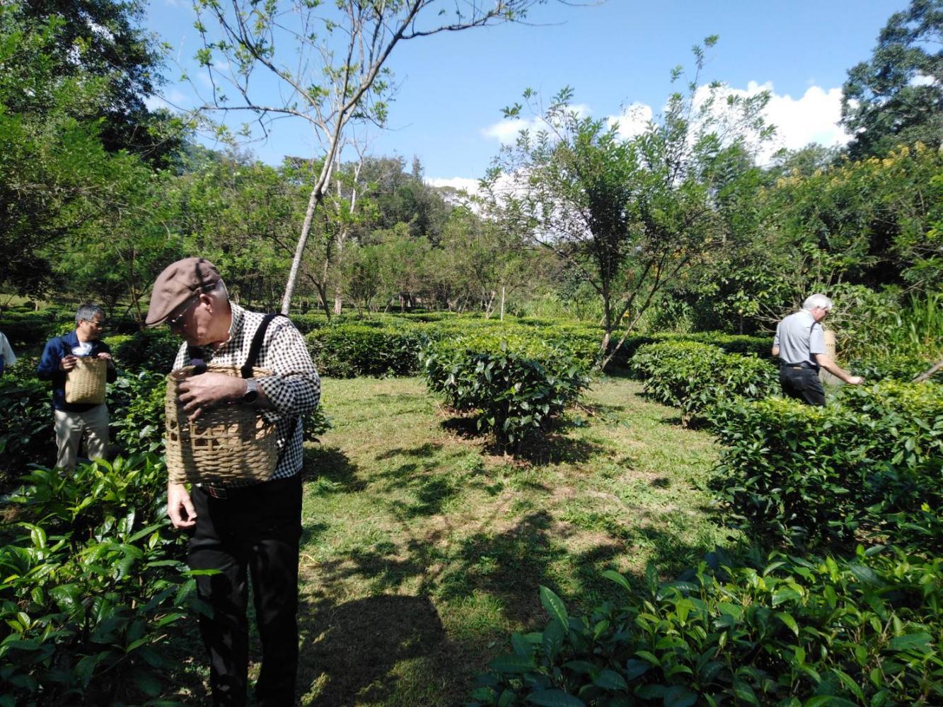 Tourists enjoy picking tea leaves at Araksa Tea Garden, a plantation in Chiang Mai.(Photo by Dusida Worrachaddejchai)