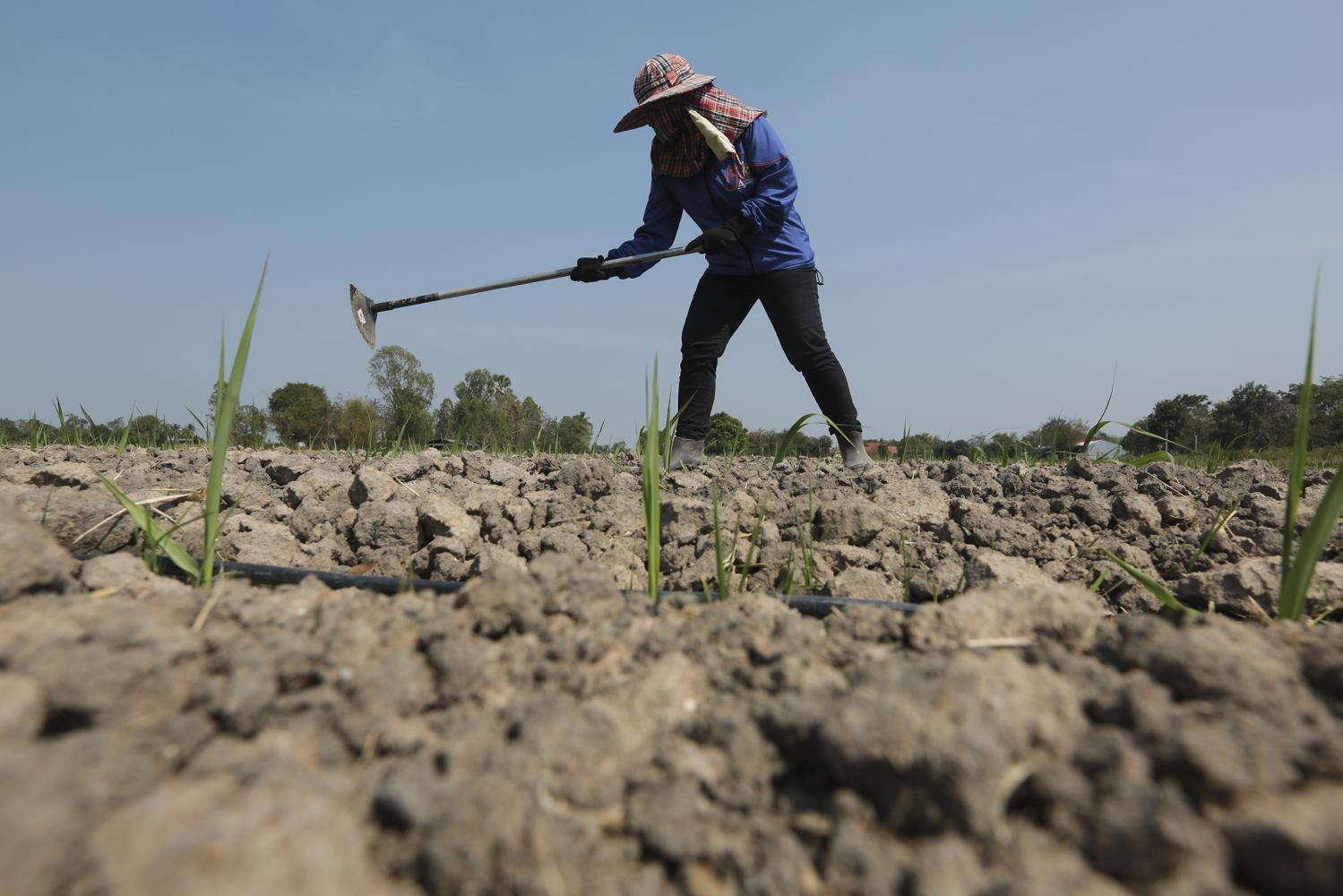 A farmer in Suphan Buri's Sam Chuk district replaces his rice crops with sugar cane, which consumes less water, though he is still plagued by drought.Patipat Janthong