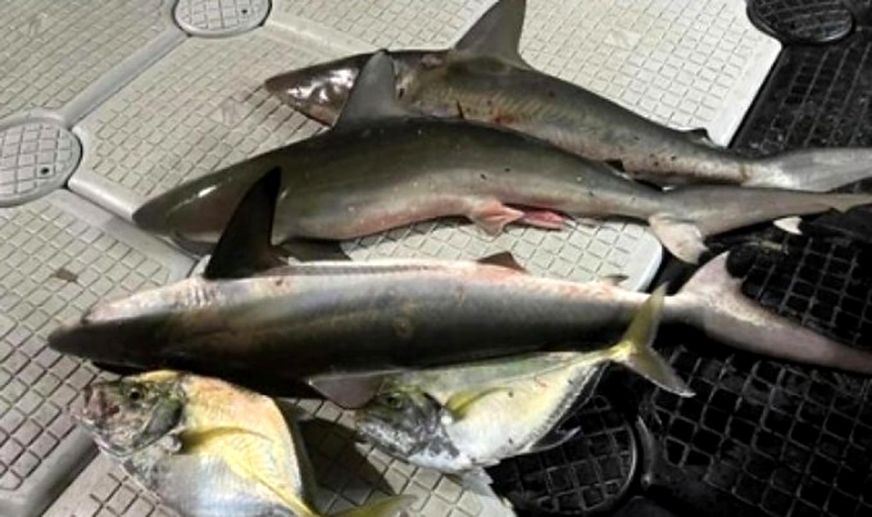 Blacktip shark protection