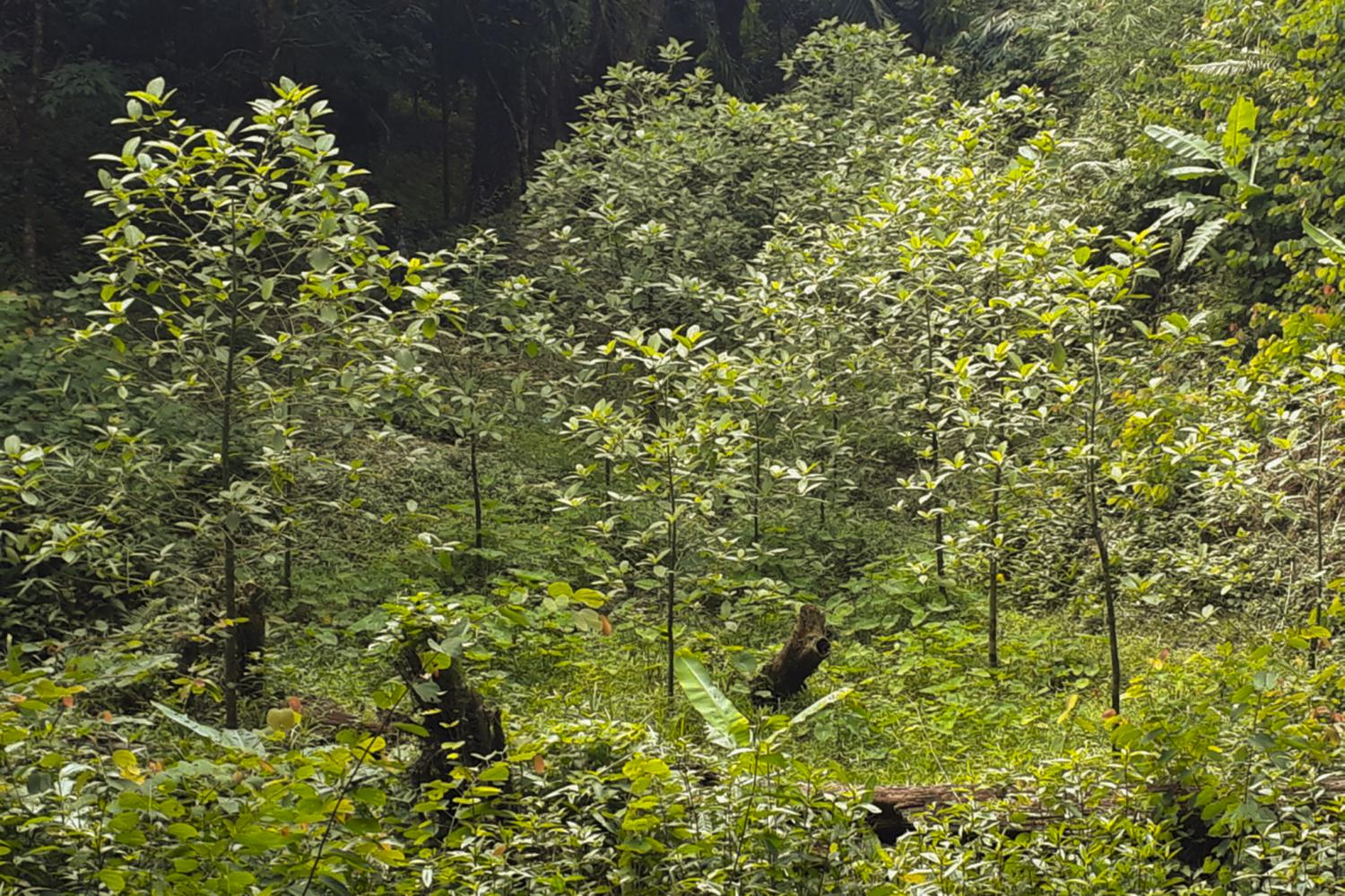 Several young kratom trees grown illegally in a village in Phangnga's Papong district. They were all later destroyed as the plant, pictured in July last year, was then classified as illegal under the narcotics law. Achadtaya Chuenniran