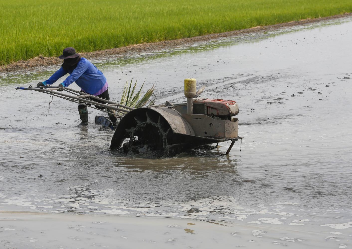 A farmer works in a rice field in Lat Lum Kaeo, Pathum Thani province.(Photo: Pattarapong Chatpattarasill)