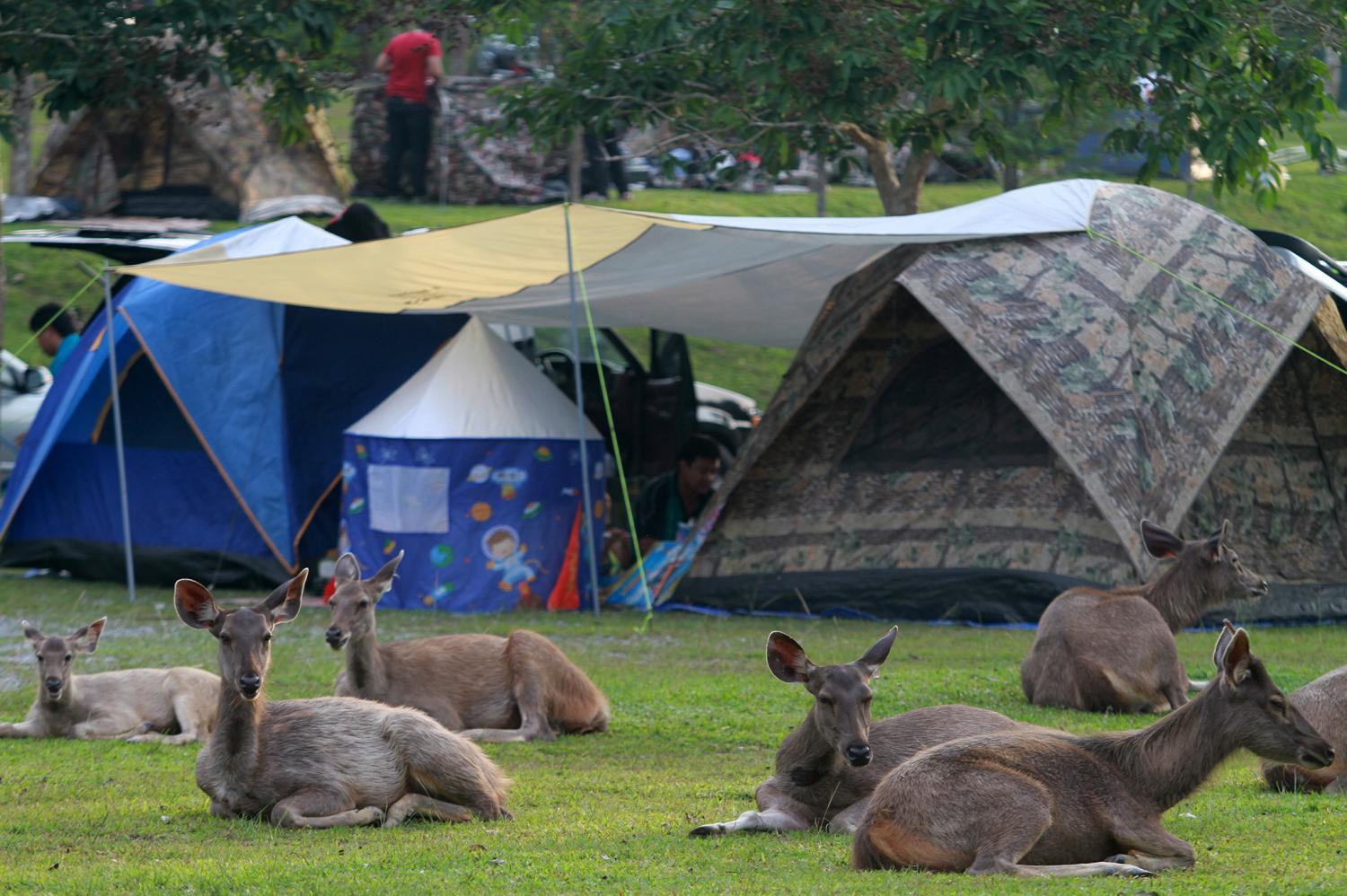 all in the family: Wild deer rest near tents put up in Khao Yai National Park in Nakhon Ratchasima. The animals do not appear to be bothered by their close proximity to humans. Many deer are lured by food handed out by park visitors and also feed on garbage the visitors have left behind.