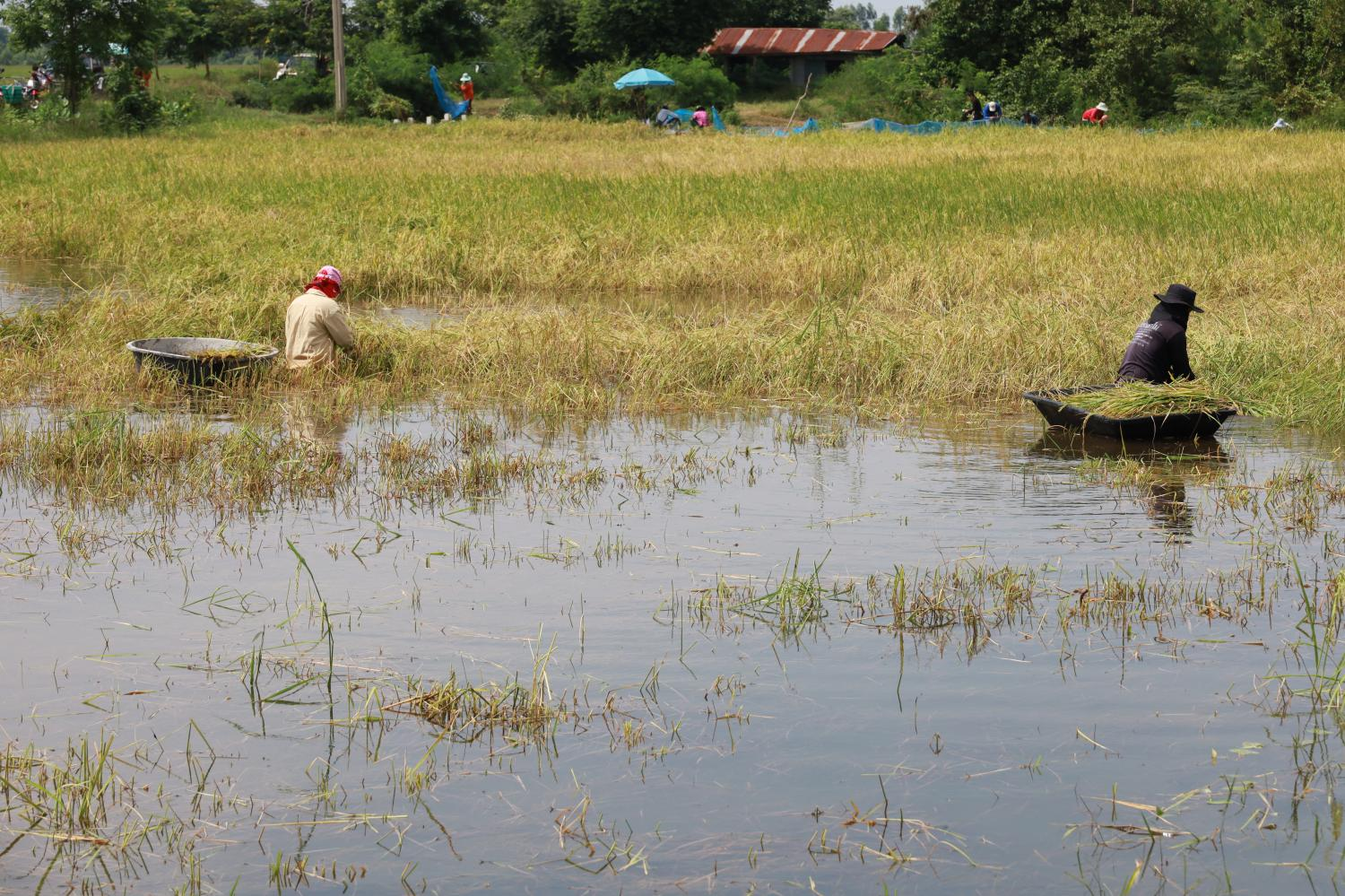 A file photo shows farmers harvesting rice from an inundated rice field in Nakhon Ratchasima in October 2020. Despite periodic floods in certain areas, the region's farming sector faces a drastic water shortage almost every year. (Photo: Prasit Tanprasert)
